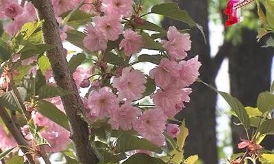 Экзотическая сакура цветет и в Ярославле