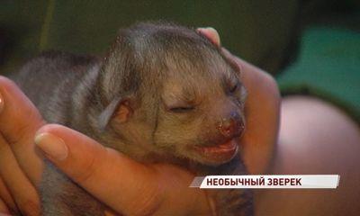 В Ярославском зоопарке показали кинкажу