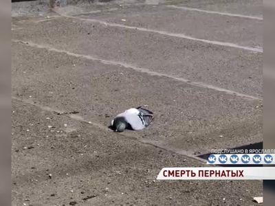 Ярославцы стали очевидцами массовой гибели голубей