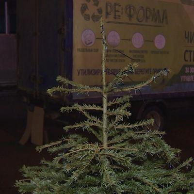 Ярославцы продолжают нести новогодние елки на корм и подстилки животным