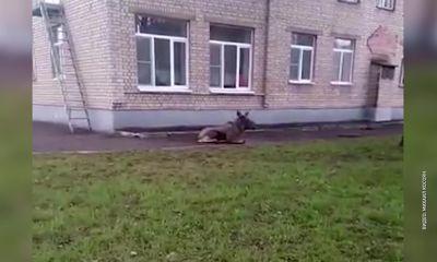 ВИДЕО: На территорию ярославского садика пробрался лось
