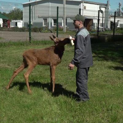 В ярославском зоопарке подросший лосенок встретился со своими спасителями