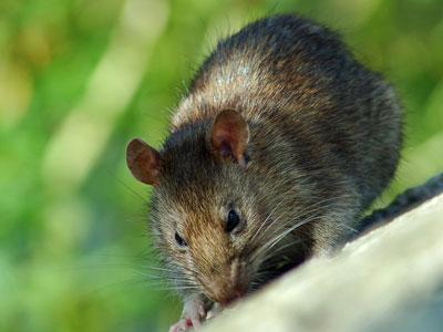 Крысы наступают