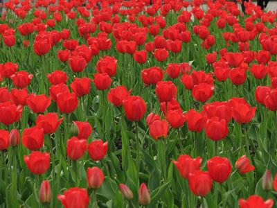 Барышня и тюльпаны