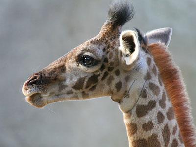 В Ярославле гостит жираф