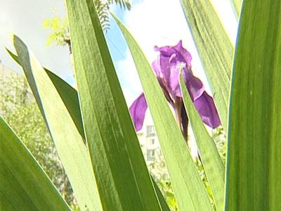 Ярославцы выращивают цветы