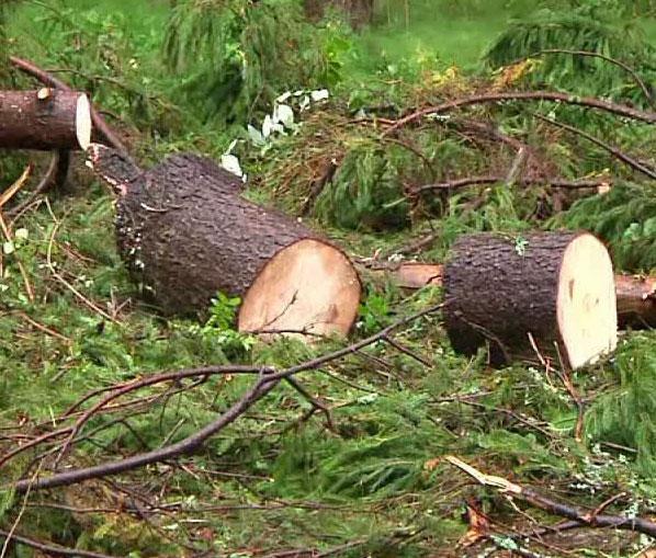 Незаконно вырубили деревья при строительстве дороги