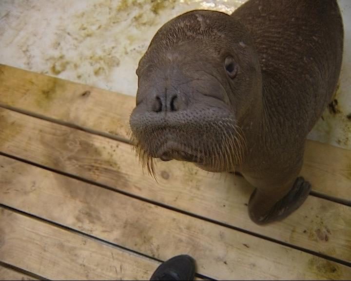 В дельфинарии пополнение - приехали моржи