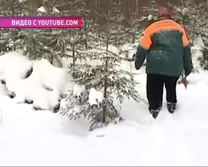 Больше всего елей вырубят в Некоузском районе