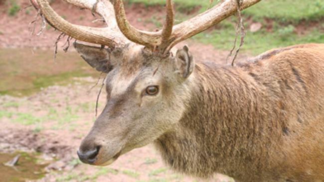 В одном из охотхозяйств Ярославской области завели маралов