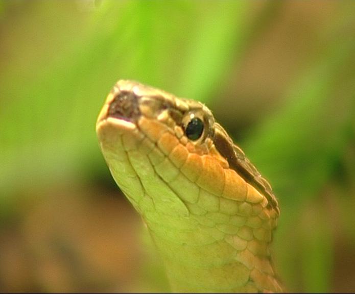 Конкурс красоты среди змей