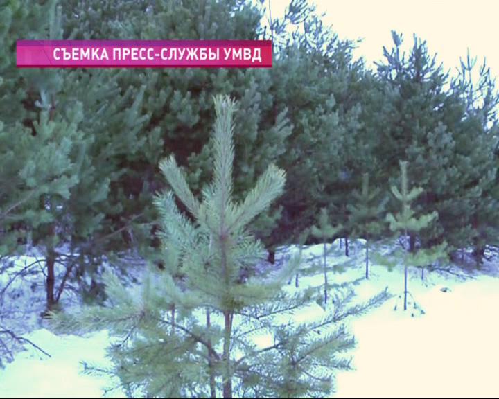 Рейды по незаконной вырубке елок продолжаются
