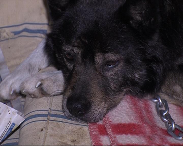 Пёс Ваня - участник митингов и аккуратный пешеход - попал в аварию