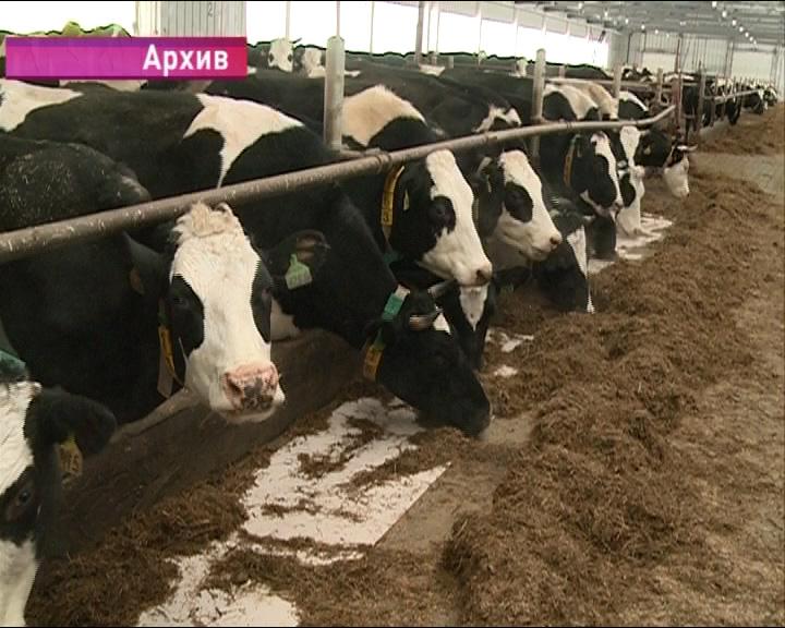 Опасное инфекционное заболевание коров