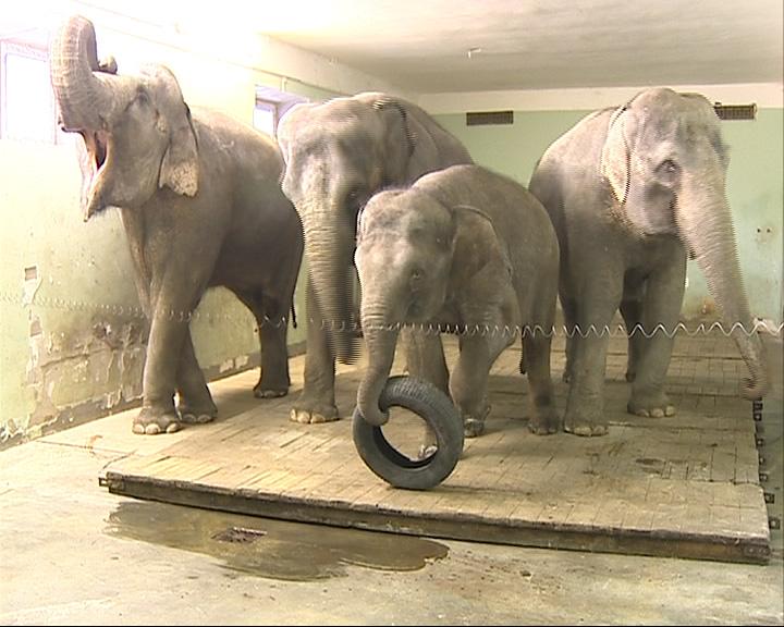В Ярославский цирк прибыли пять индийских слонов