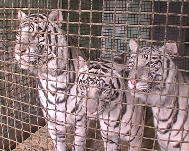 7 белых тигров прибыли в Ярославль