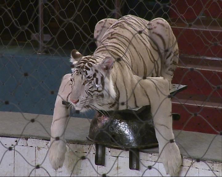 7 белых тигров на манеже Ярославского цирка