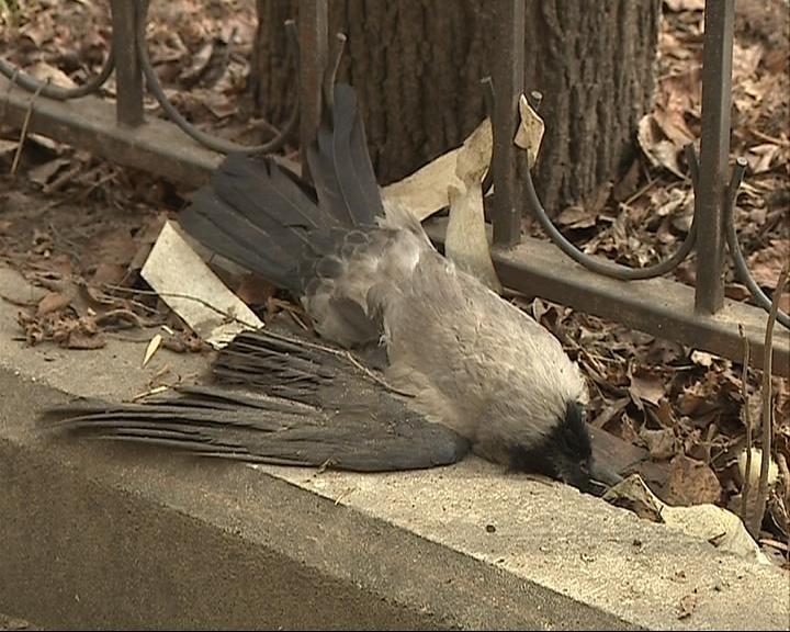 В центре Ярославля появился стрелок по воронам