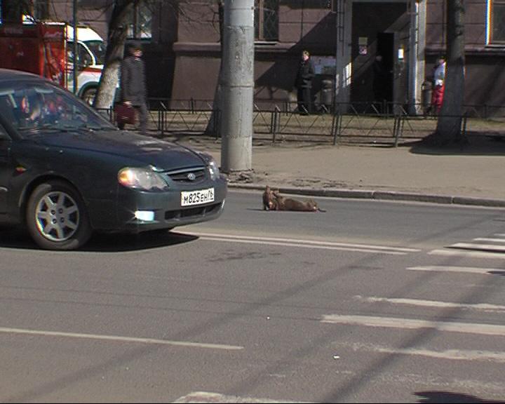 Такса внезапно выбежала на дорогу, где оказалась под колесами «Газели»