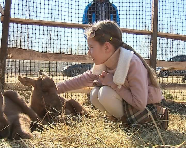 Новорожденных лосят нашли истощенными в поле