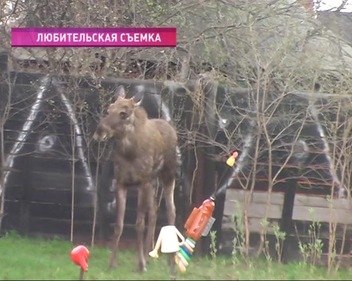 К ярославским садоводам в гости пришел... лось