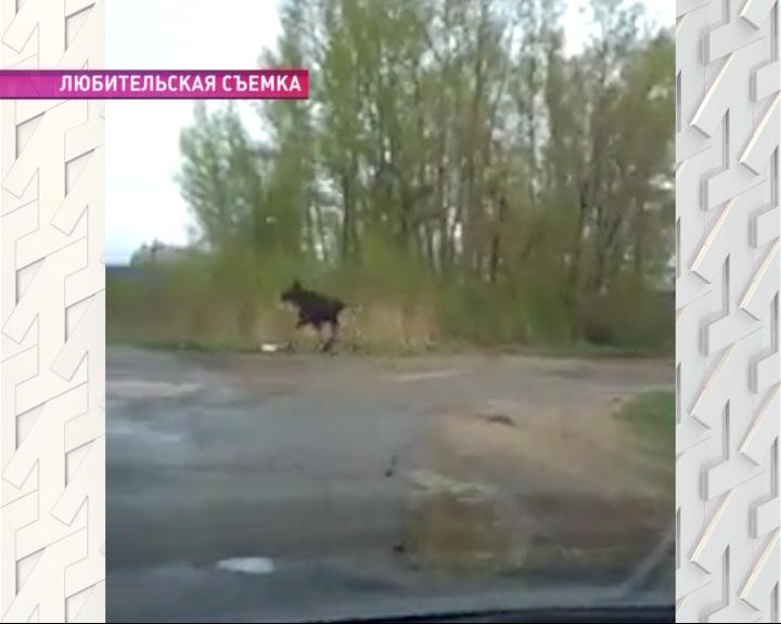 Лось, гуляющий по Рыбинску