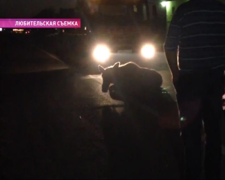 В районе деревни Козлово сбили лося
