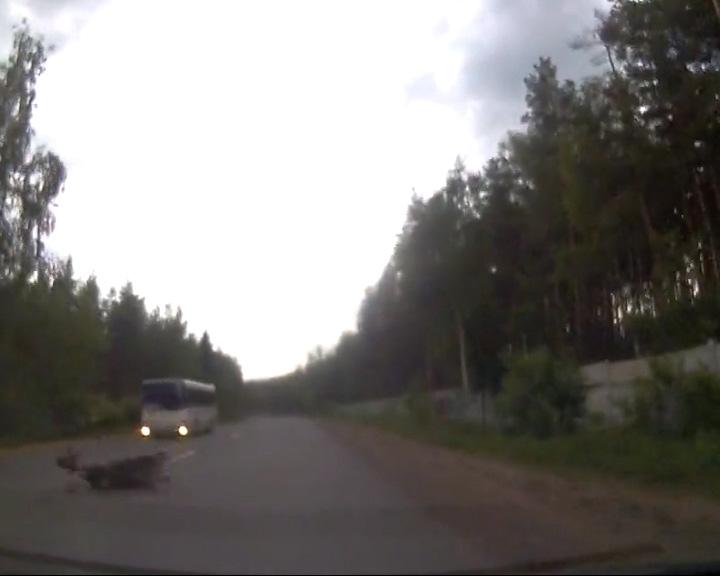 На дороге снова пострадал лось