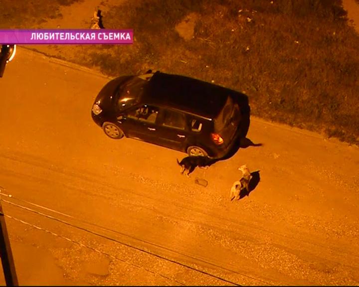 Бродячие собаки грызут задний бампер автомобиля