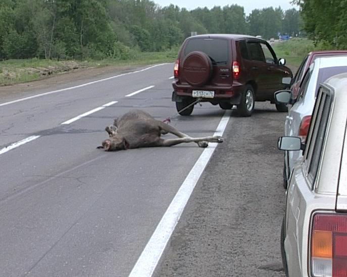 Браконьер убил лося, разделал тушу животного прямо в лесу и вывез мясо на собственном авто