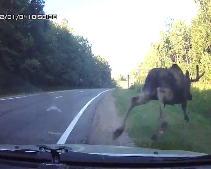 Лось перебегал дорогу прямо перед автомобилем