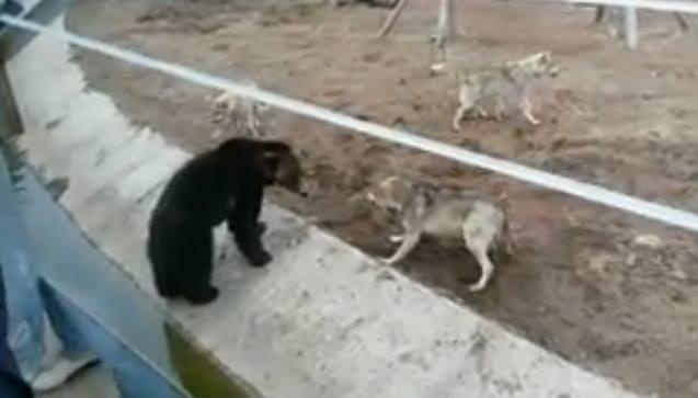Медведь в Ярославском зоопарке подрался с волками