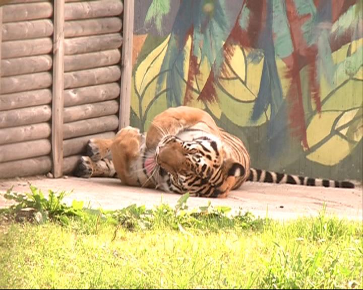 Сегодня в мире отмечают день тигра