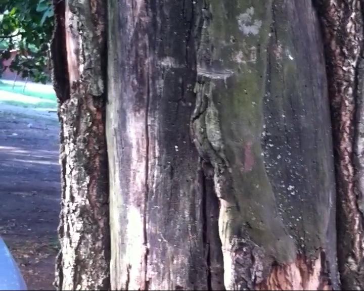 На проспекте Ленина треснуло и накренилось дерево