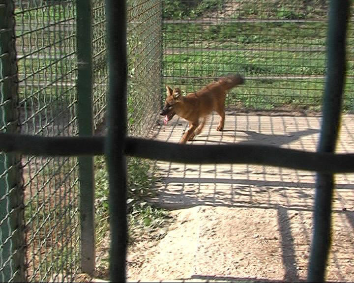 В зоопарке новый житель: 5-месячный красный волк