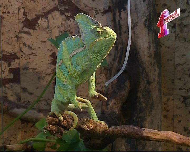 МИФ - правда или вымысел: когда хамелеон меняет свой цвет