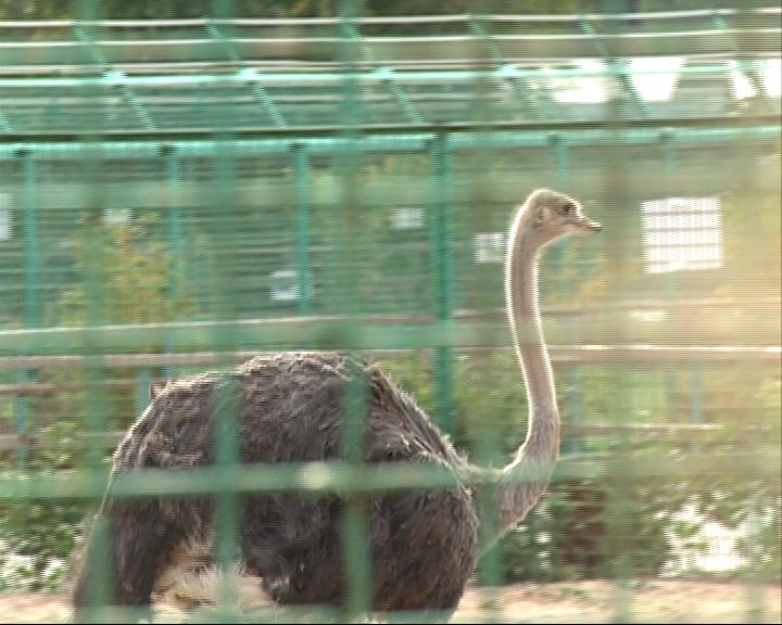 В Ярославском зоопарке появилась самочка страуса