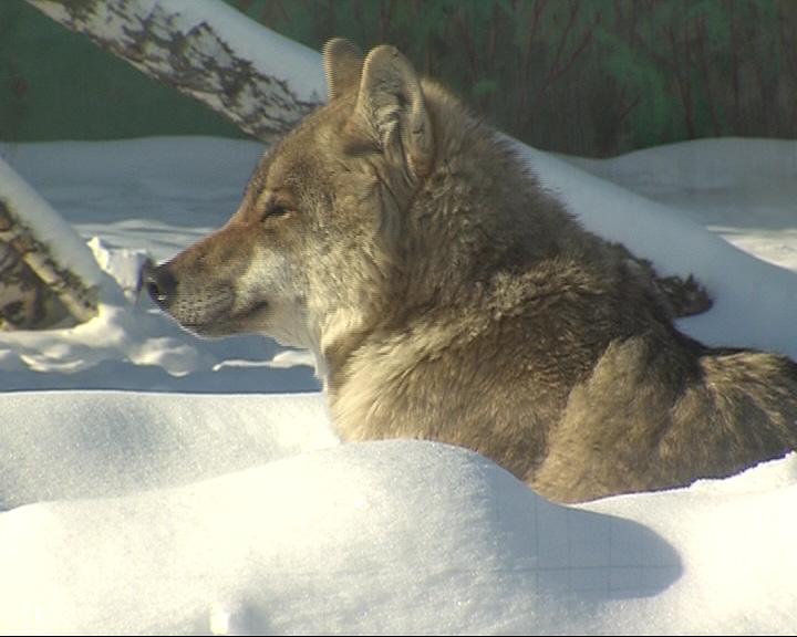 В ярославском зоопарке питомцы готовятся к зимовке