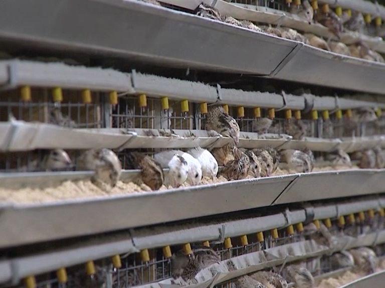 Под Угличем в бывших коровниках выращивают тысячи перепелок