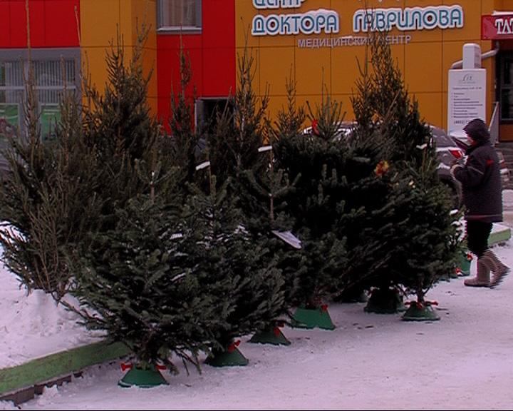 Корреспондент «Первого Ярославского» выяснил, сколько стоят новогодние елки