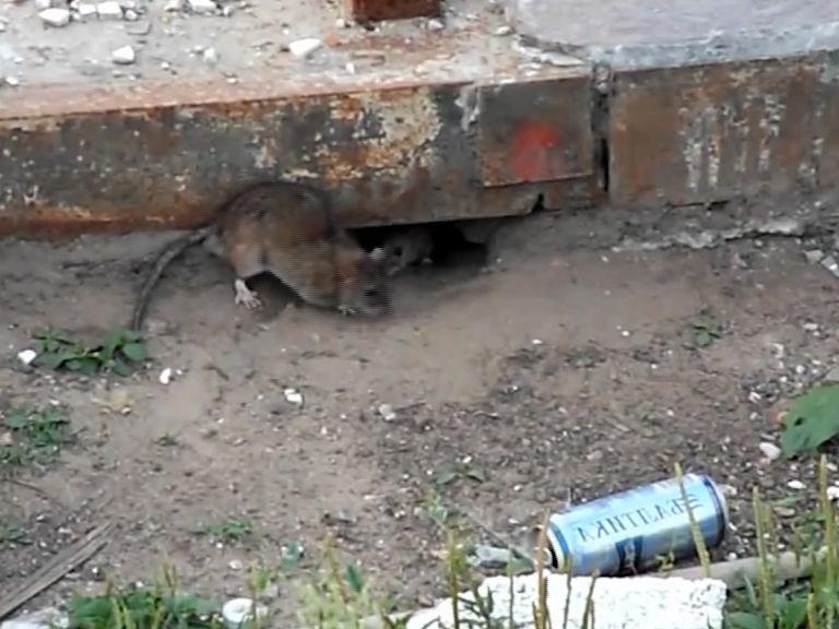 Крысы в Ярославле отвоевывают целые дома