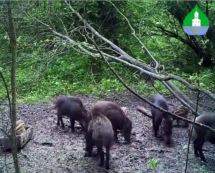 В национальном парке Плещеево Озеро засняли на видео сообразительного поросенка
