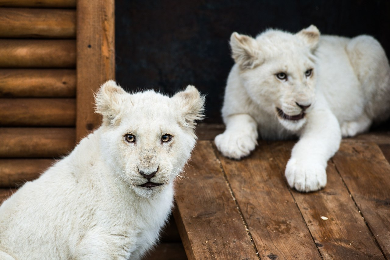 Белые львята из ярославского зоопарка отправятся в ивановский