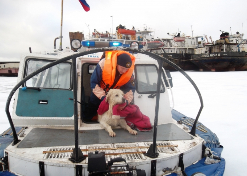 Ярославские спасатели спасли лабрадора Чимбиза, провалившегося под лед на Волге