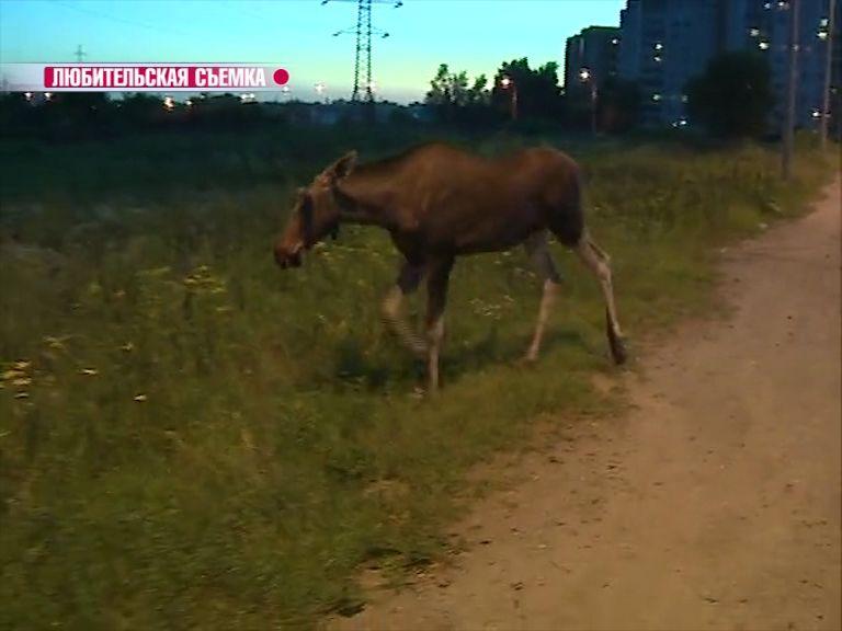 В Рыбинске лось гулял по пустырю