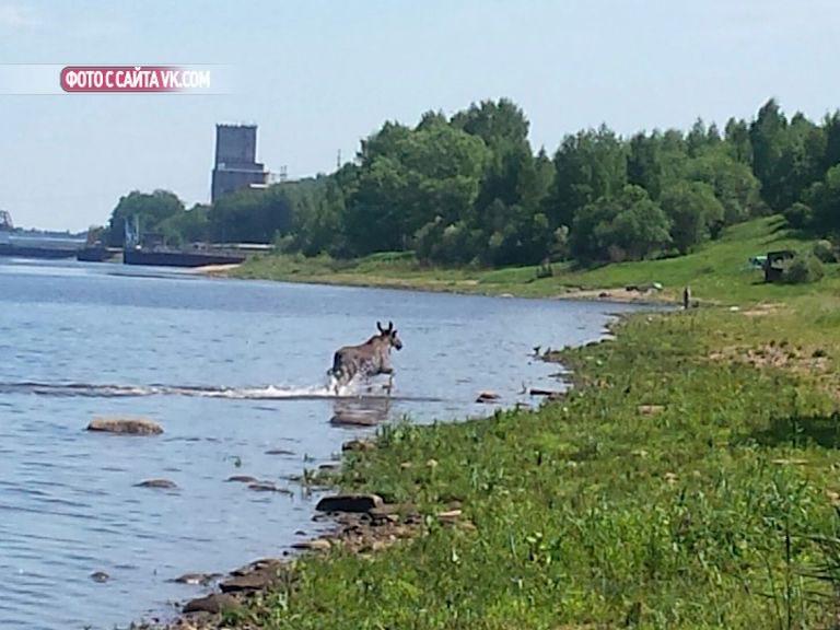 В Рыбинске лось пытался переплыть Волгу