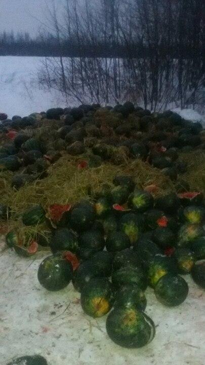 ФОТО: В Рыбинске водитель фуры, чтобы выбраться из снега выкинул в поле десятки арбузов