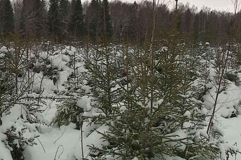 Правительство Ярославской области подарить живые елки детским домам