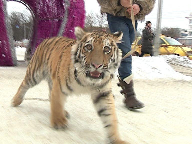 По центру Ярославля прогуливался тигр