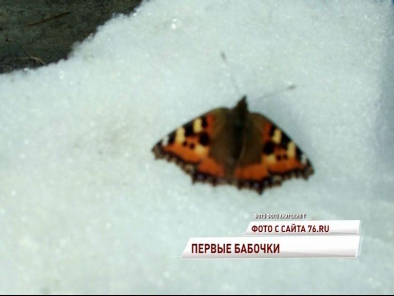 Весна пришла: в Ярославле появились бабочки
